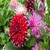 Najpiękniejsze jesienne rośliny ogrodowe: astry, chryzantemy, mimozy