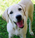 Labrador retriever - wiesz wszystko?