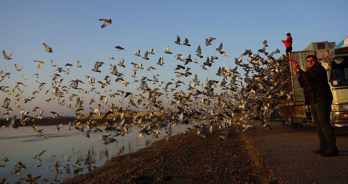 Wyścigami gołębi pasjonują się również Irakijczycy