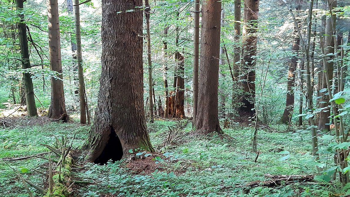 Gawra niedźwiedzia w starej jodle. Cięcia i drogi dotarły aż tutaj