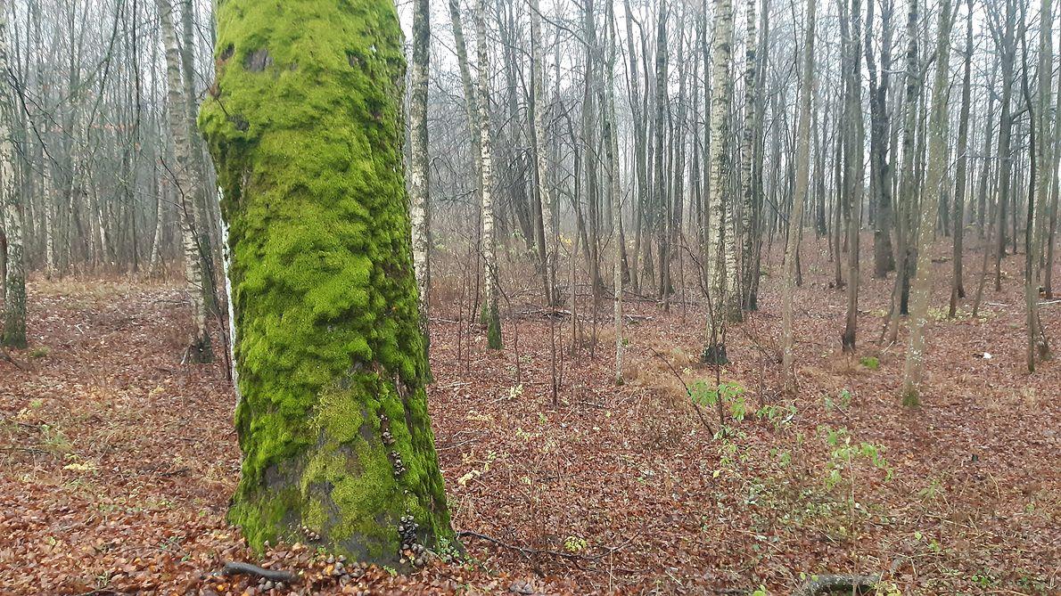 Ginące gatunki mszaków potrzebują dorodnych sędziwych drzew do życia i rozwoju