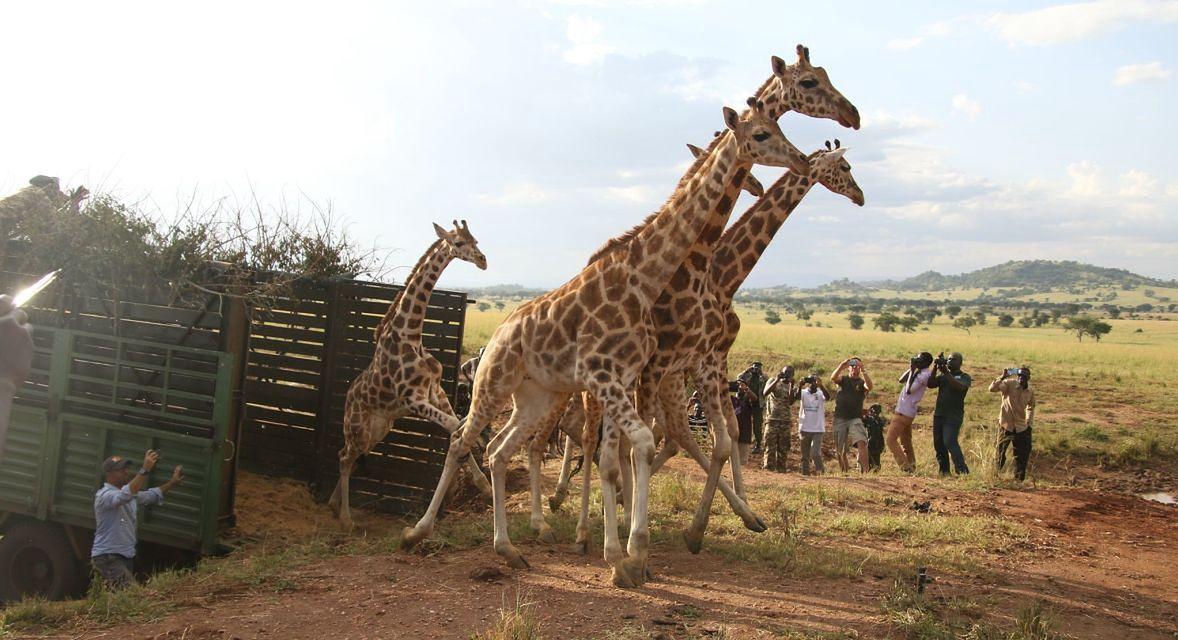 Żyrafy wypuszczone w rezerwacie przyrody Pian Upe. Zostały tam wybite ponad 20 lat temu