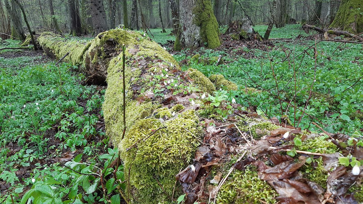 Martwe drewno jest rezerwuarem wody i ważnym siedliskiem wielu ginących gatunków bezkręgowców, mszaków i grzybów.