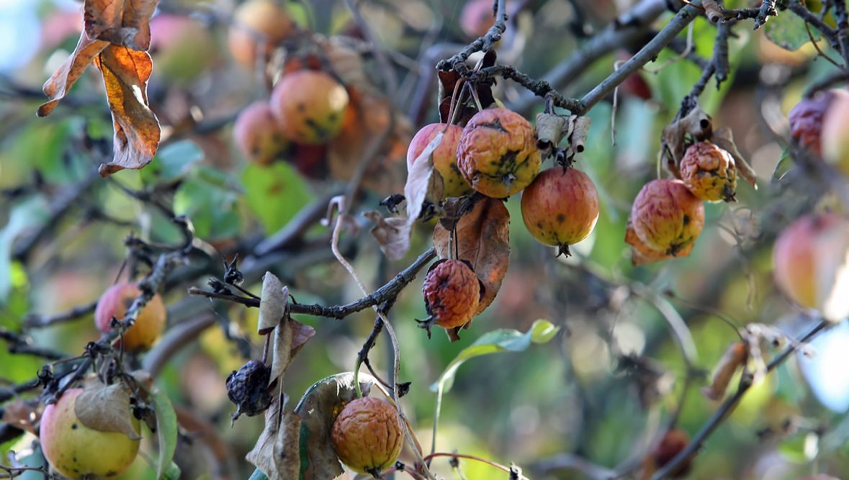 Sady jabłoni w okolicach Jankówka Przygodzkiego. Pozbawione wody drzewa, wydało zaledwie karłowate i drobne owoce