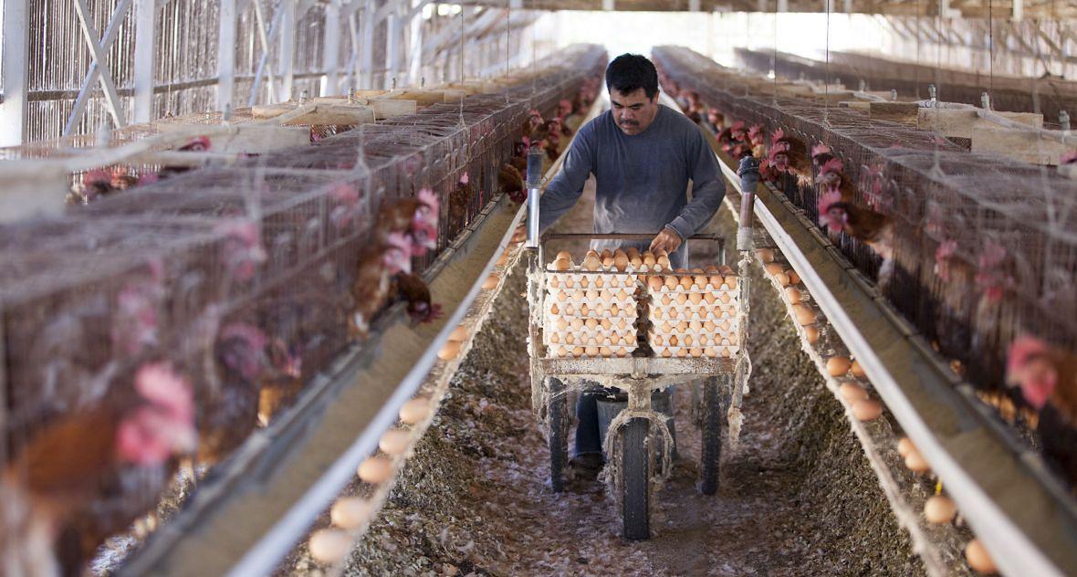 """""""Jeśli kurom podaje się lek, to mówię rolnikom, że jaja są do wyrzucenia, ale oni i tak robią swoje. Podają tony badziewia. Zero karencji. Nikt tego nie kontroluje"""""""