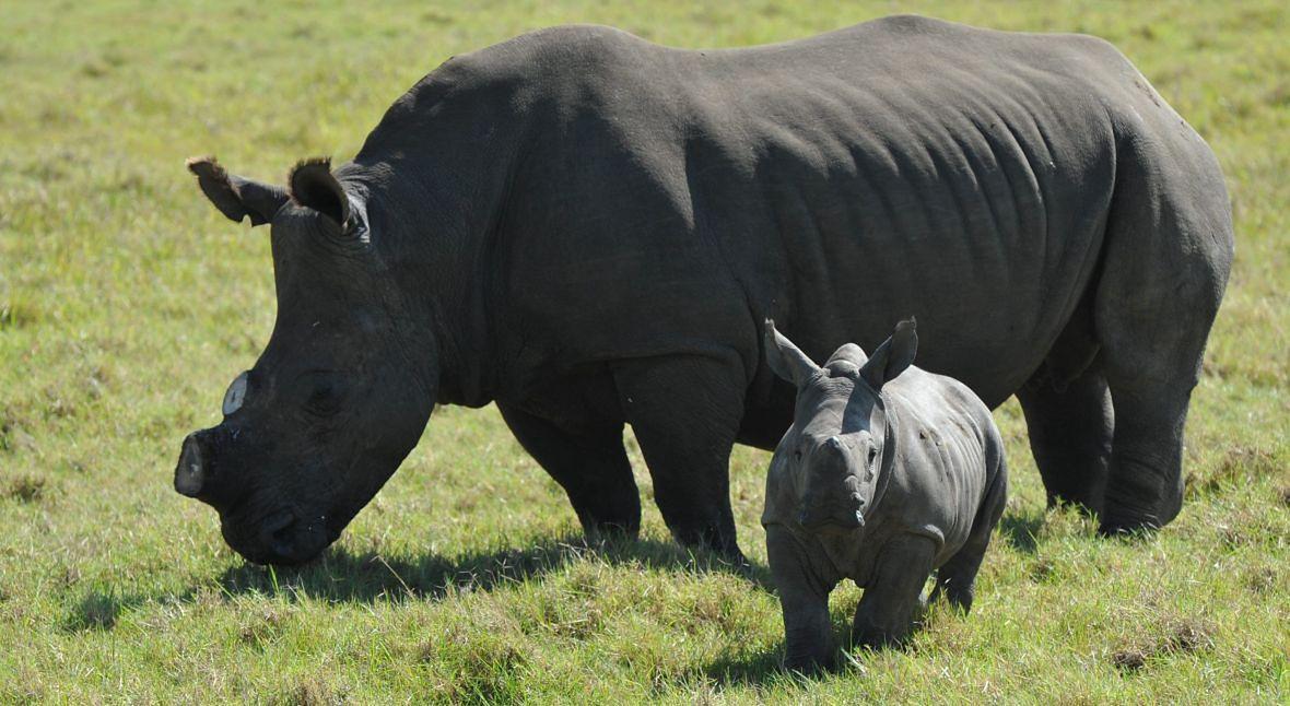 Odcinanie rogów nosorożcom to skuteczna, ale brutalna i często krytykowana metoda ochrony tych zwierząt przed kłusownikami