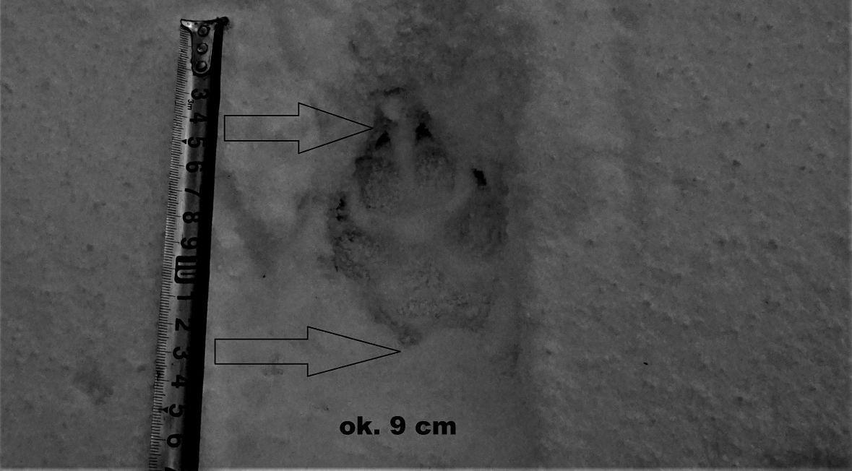 Odcisk łapy drapieżnika ma dziewięć centymetrów. Dorosły basior – samiec, zostawia tropy długości trzynastu centymetrów. Wadera – samica, jakieś dwa centymetry krótsze. Najprawdopodobniej widziałem więc młodego wilka