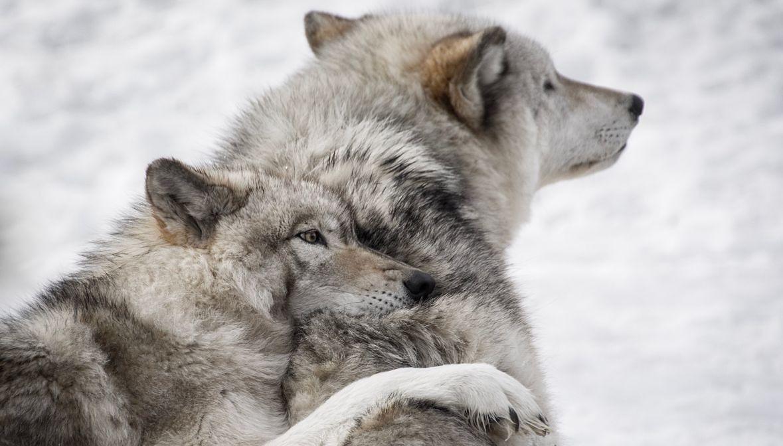 Wilki, wbrew temu, co uważa się powszechnie, mają w lesie wrogów naturalnych – narażone są na ataki pasożytów i na zakażenia szeregiem chorób, głównie świerzbem, który często stanowi przyczynę ich śmierci