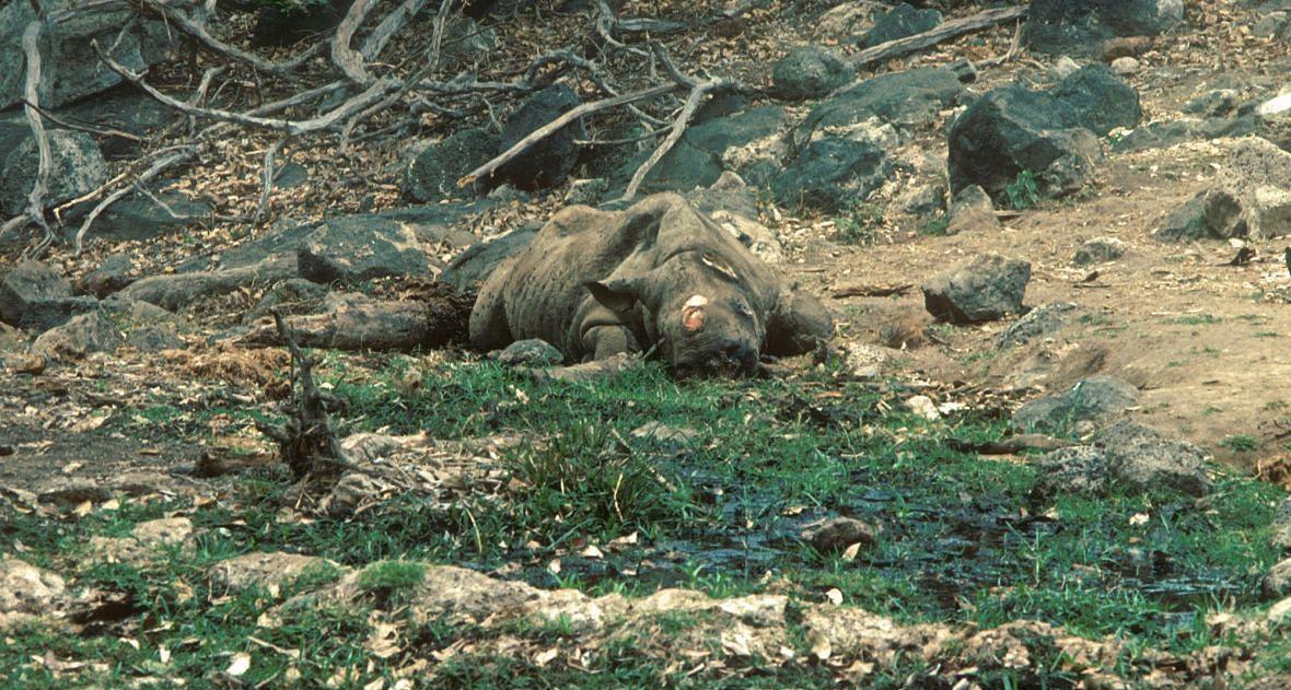 Tsavo West, Kenia. Nosorożec zabity przez kłusowników. Zabrali tylko róg zwierzęcia