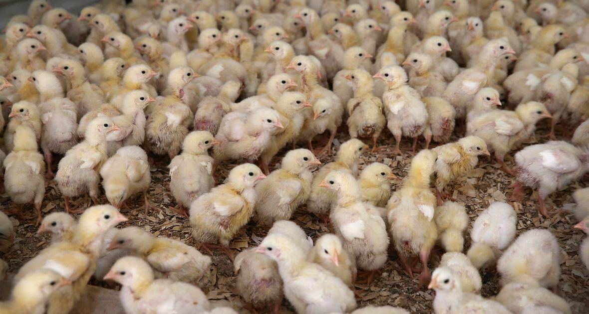 """Jukes zaobserwował, że kurczęta skarmiane resztkami po produkcji antybiotyków były większe od tych z grupy kontrolnej. Znacznie większe. Ich masa ciała wynosiła około 200 procent masy osiąganej przez """"zwykłe"""" ptaki"""