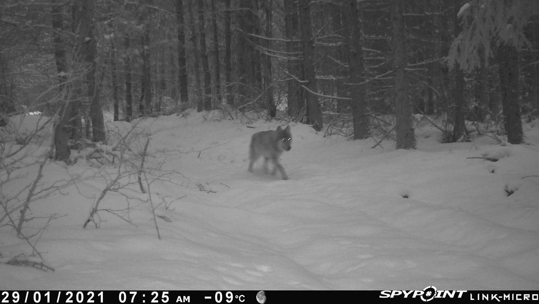 Jeden z wilków z watahy, którą tropiliśmy