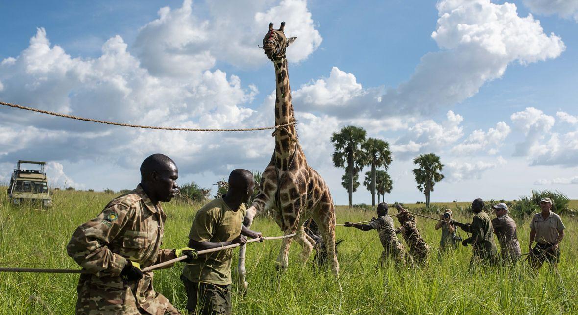 Jedna z żyraf, której działacze Giraffe Conservation Foundation wszczepili GPS