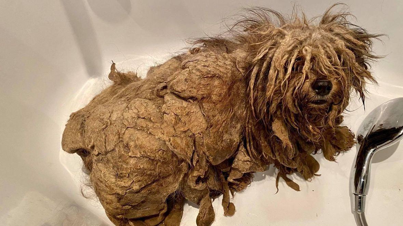 """Właściciel tak """"dbał"""" o swojego psa, że tylko można się domyślać, że pod tą sfilcowaną, śmierdzącą sierścią, ukrywa się żywe stworzenie"""