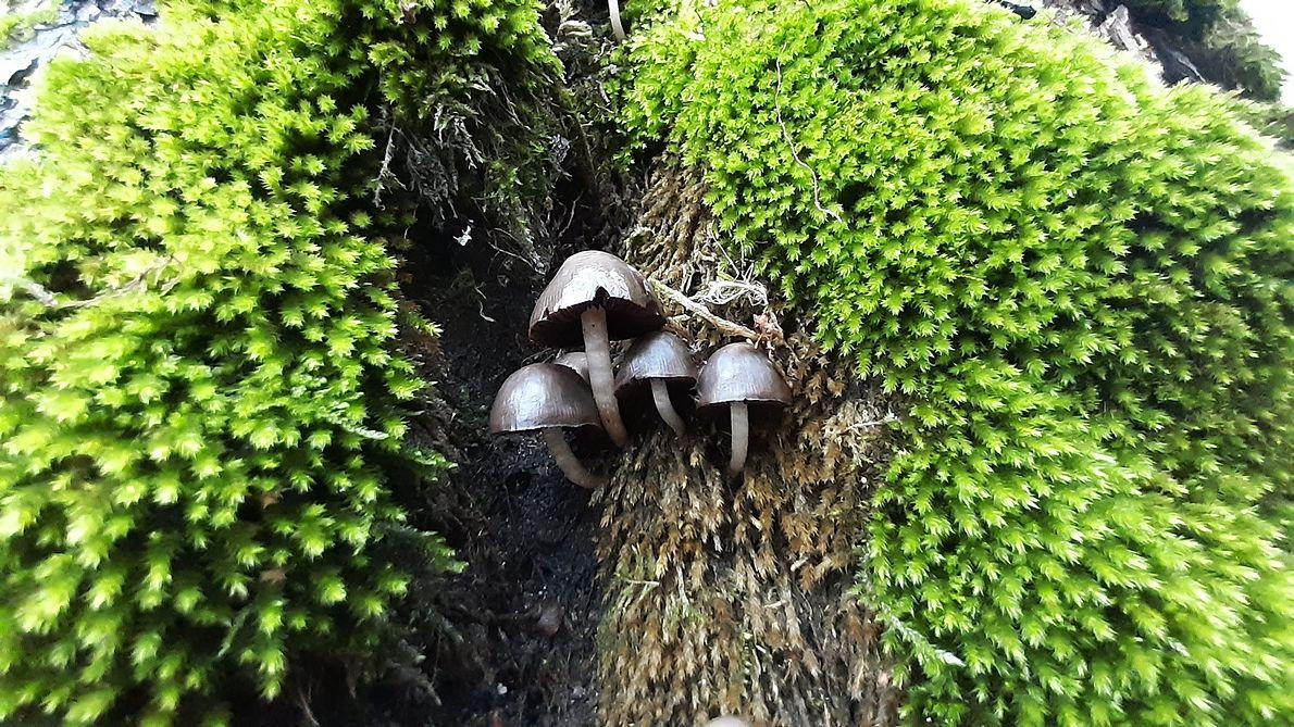 Zamierające partie kobierca zwiślika maczugowatego to dobre podłoże dla wielu gatunków grzybów