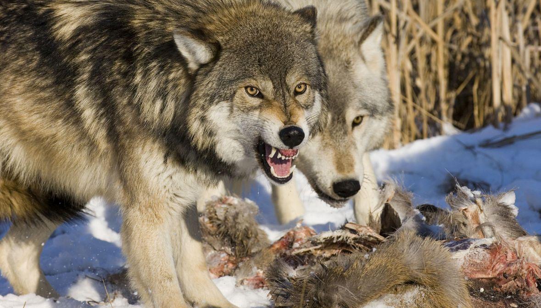 Przeciętna wilcza wataha średnio zjada sarnę lub jelenia raz na dwa, trzy dni