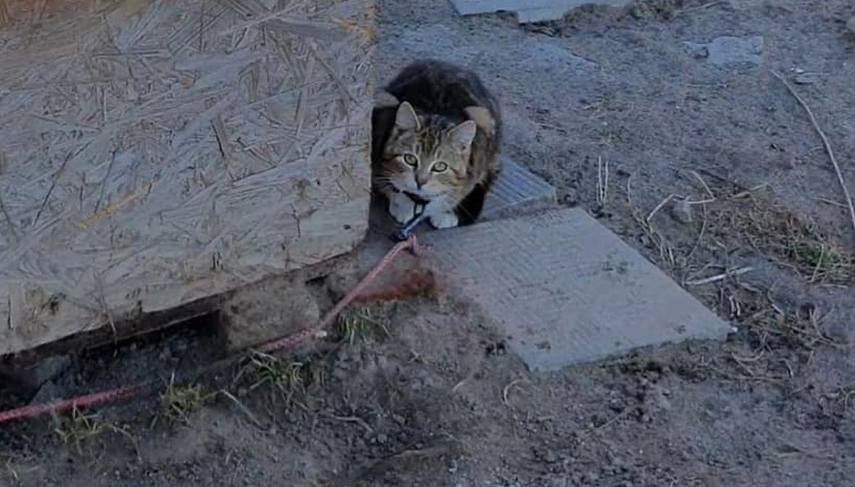 "Kot ""łańcuchowy"""