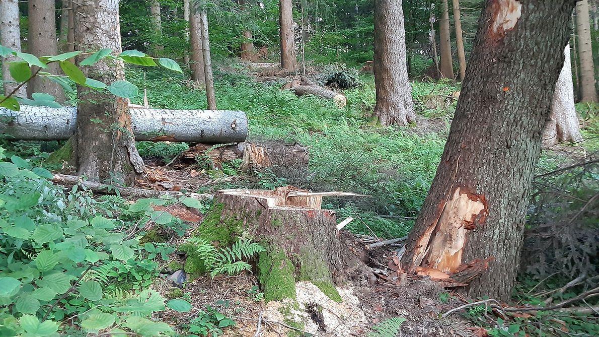 Miejscami wyrąb jest tak pośpieszny i niechlujny, że pilarze zostawiają ścięta drzewa oparte o sąsiednie, co jest złamaniem podstawowych przepisów i zagrożeniem dla życia ludzi
