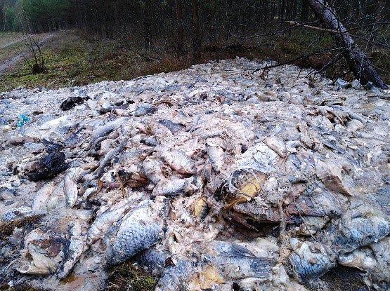 700 kilogramów ryb wyrzuconych do lasu. Leśnicy alarmują
