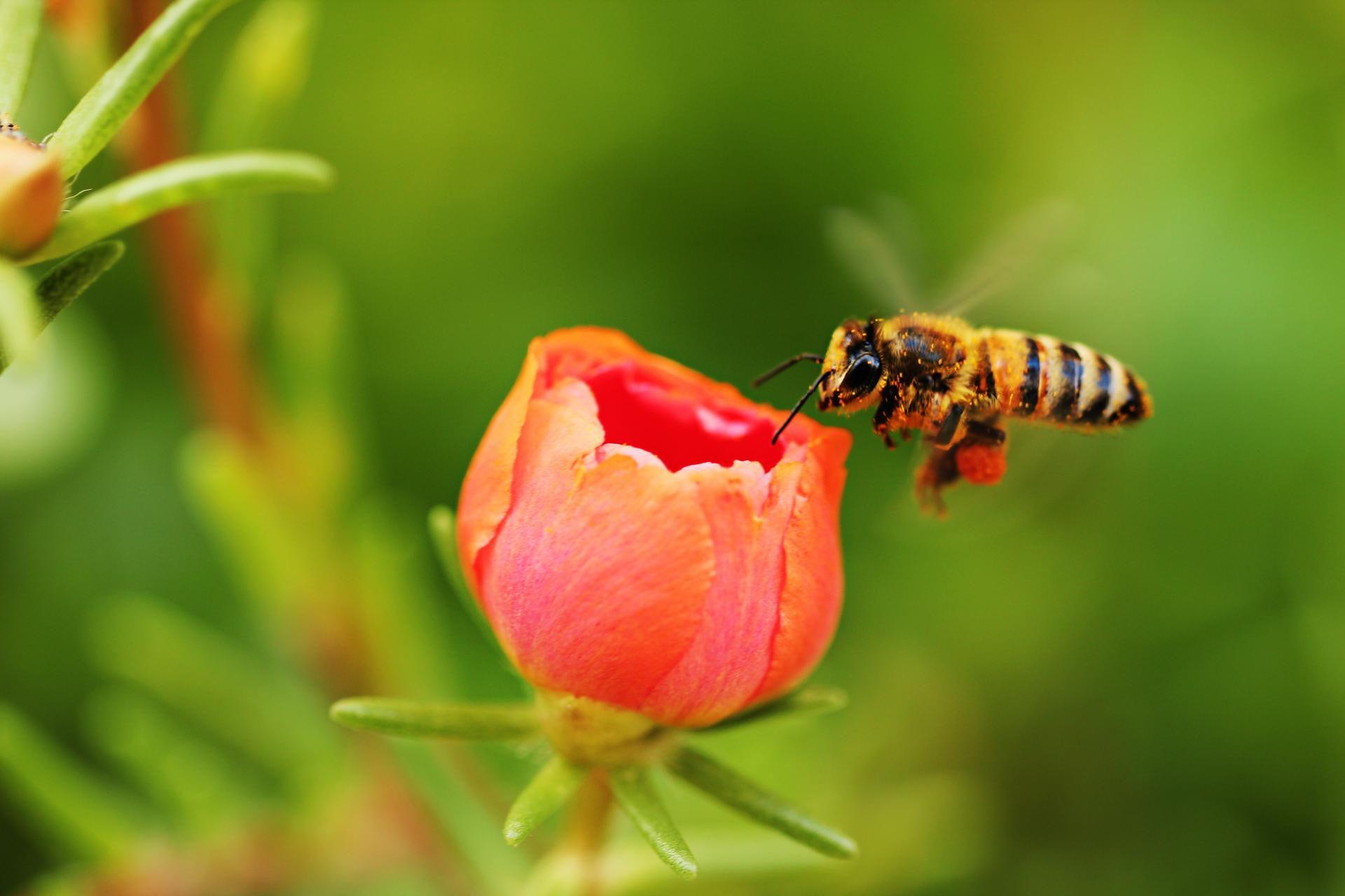 przerażający pszczoły w penisie z złą erekcją