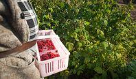 Polacy nie chcą zbierać owoców i warzyw. Rynek ratują Ukraińcy, ale oczekują większych zarobków