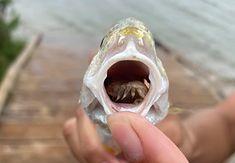 Pasożyt w pysku ryby