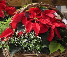 Poinsecja - czerwony kwiat do świątecznych dekoracji