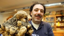 Rekordowa białą trufla znaleziona w jednym z lasów w okolicach Sieny