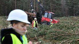 To już koniec wycinki drzew na Mierzei Wiślanej - poinformowały Lasy Państwowe