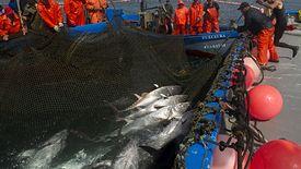 Jak tak dalej pójdzie, to tuńczyk będzie pod ochroną.