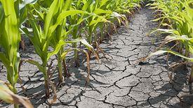 Susza w Polsce generuje duże straty. Wdrożono program pomocowy dla rolników