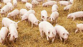 Potencjalna epidemia ASF w Wielkopolsce może mieć katastrofalne skutki dla polskiego rynku mięsnego.