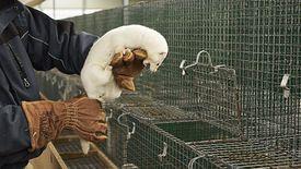 Hodowcy zwierząt futerkowych będą mogli bez przeszkód prowdadzić biznes w Polsce