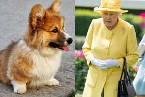 """Nie żyje pies królowej Elżbiety II! """"JEST ZDRUZGOTANA"""""""