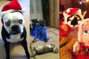 Zobaczcie zwierzęta, które nienawidzą Świąt (ZDJĘCIA)
