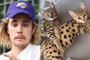 """Justin Bieber chwali się egzotycznymi kotami za 140 TYSIĘCY! PETA krytykuje: """"Udowodnił, że ma gdzieś pomoc zwierzętom"""""""