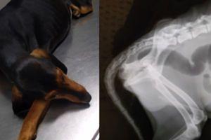 Wygłodniały i porzucony pies z Krety połknął rybę z HACZYKAMI. Lekarze walczyli o jego los