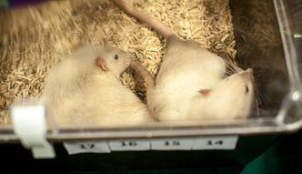 Zwierzęta laboratoryjne. Można je adoptować i dać im drugie życie