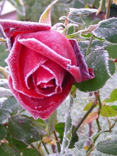 Kwiaty, liście i trwaę pokrył szron - WP Wiadomości