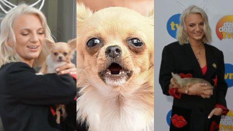 Pies Sarsy obszczekuje fotoreporterów na ściance WIDEO