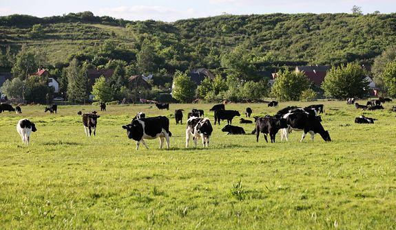 Wojna o stado krów. Ludzie się kłócą, a zwierzęta cierpią