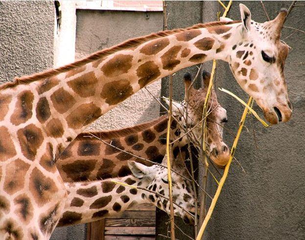 Wyznaczono nagrodę za złapanie zabójców żyraf!