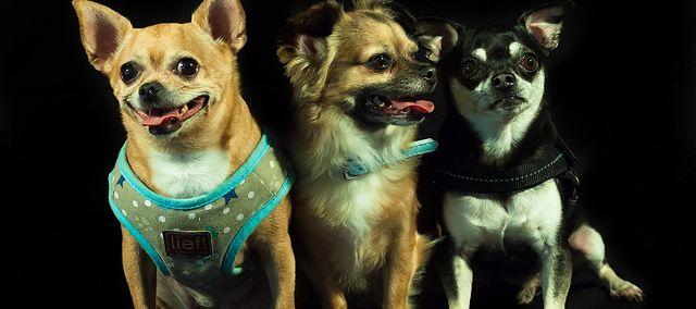 W superbly Małe rasy psów – nazwy i charakterystyka, do mieszkania | WP JF35