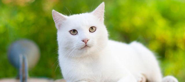 Koty Jaką Rasę Wybrać Kot Brytyjski Szkocki Syjamski I Inne