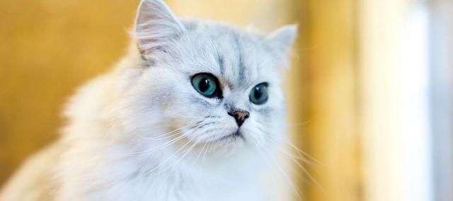 Kot Perski Charakter Pielęgnacja Dieta Cena Wp Abczdrowie