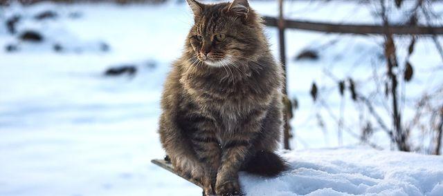 Kot Syberyjski Wygląd Charakter Pielęgnacja Choroby Wp Abczdrowie