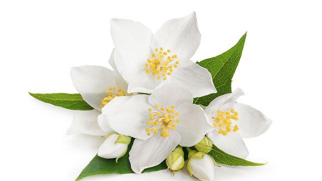 Kwiaty Jasminu I Jasminowca W Kuchni Jak Ich Uzywac Wp Kuchnia