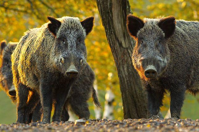 ASF to choroba dotykająca świnie i dziki.