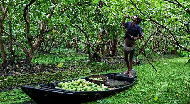 Bangladesz. Rolnik zbiera owoce guawy. Przy wzroście temperatury o cztery stopnie jego krajowi grozi to, że duża jego część zamieni się w pustynię. Zagrożone są Chiny i Indie. Europie grozi z kolei permanentna susza