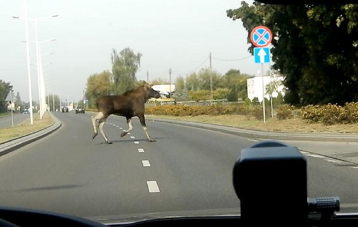 Zwierzę na drodze — takie zdarzenie miało miejsce we Włocławku