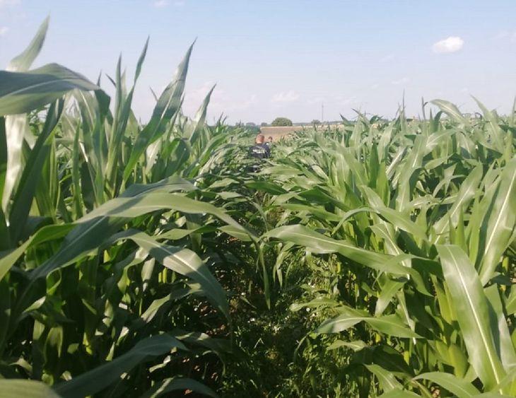 37-letni kierowca opla ukrył się w polu kukurydzy